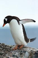 Gentoo Penguin in Antarctica