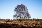 Single silver birch tree, Betula pendula, standing alone in winter heathland, Suffolk, Sandlings, Sutton, Suffolk, England, UK