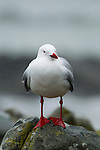 Red-billed Gull (Larus scopulinus) during rain storm, Kaikoura, South Island, New Zealand