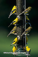 01640-07218 American Goldfinches (Carduelis tristis) males and females on thistle feeder, Marion Co.  IL