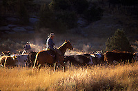 COWBOYS HERD CATTLE