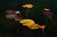 Lily pads turn autumn colors in the waters of Kangaroo Lake, Door County, Wisconsin