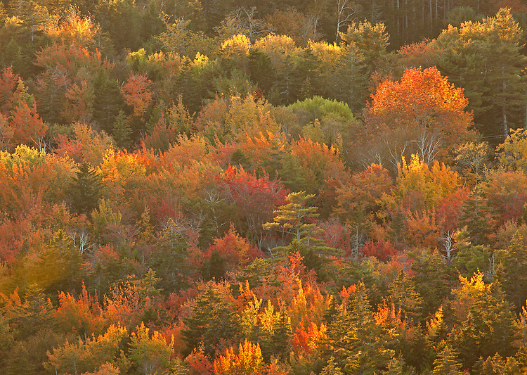 Deciduous trees in autumn on Mount Desert Island, Acadia National Park, Maine, USA