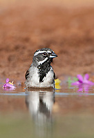 578670030v a wild black-throated sparrow amphispiza bilineata bathes in a small pond in the rio grande valley in south texas