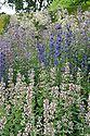 Aconitum and Nepeta in a mixed herbaceous border, late June.