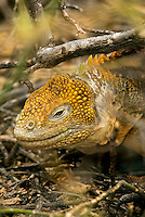 """It is estimated that are nearly10,000 land iguanas are found in the Galápagos. Because fresh water is scarce in the Galápagos Islands, land iguana obtain the majority of their moisture from the prickly-pear cactus that accounts for 80% of its diet. Charles Darwin called them """"ugly animals, of a yellowish orange beneath, and of a brownish-red colour above: from their low facial angle they have a singularly stupid appearance.""""."""
