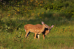Two fawns in a northern Wisconsin field.