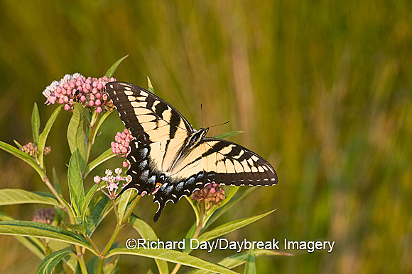 03023-025.01 Eastern Tiger Swallowtail (Papilio glaucus) on Swamp Milkweed (Asclepias incarnata) Marion Co.  IL