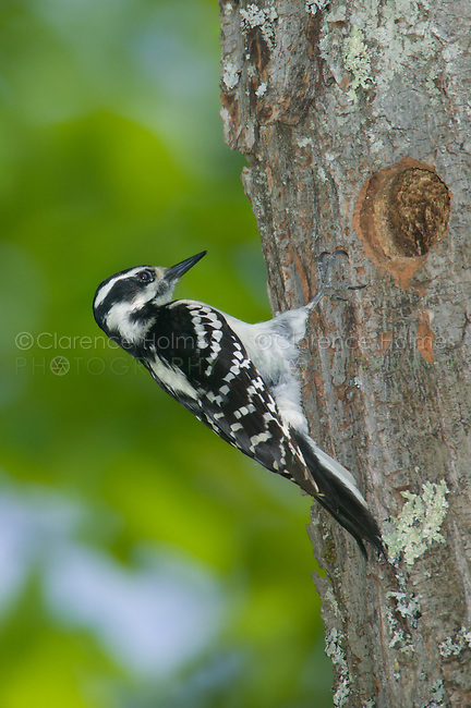 Hairy Woodpecker (Picoides villosus) near its nest cavity in a tree, Pharaoh Lake Wilderness Area, New York