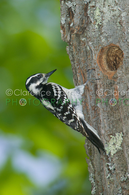 Hairy Woodpecker (Picoides villosus) near its nest cavity in a tree, Pharaoh Lake Wilderness Area, New York