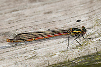 Frühe Adonislibelle, Pyrrhosoma nymphula, Weibchen, Large Red Damselfly, La Petite Nymphe au corps de feu