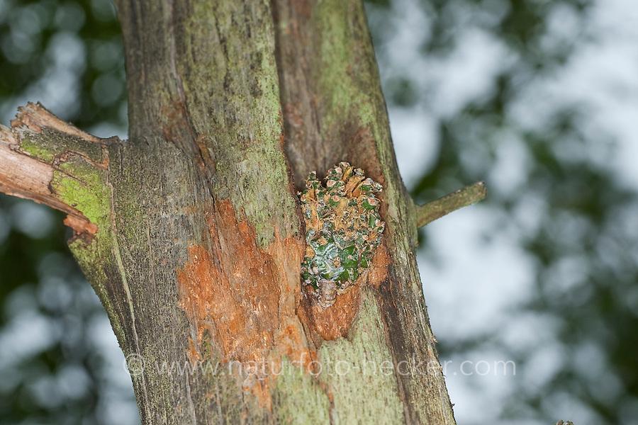 Specht hat Nadelbaum-Zapfen, Zapfen in Stamm verkeilt, um die Früchtchen fressen zu können, Spechtschmiede, Specht-Schmiede, woodpecker, pine-cone wedged in an anvil, smithy, workshop, woodpecker anvil
