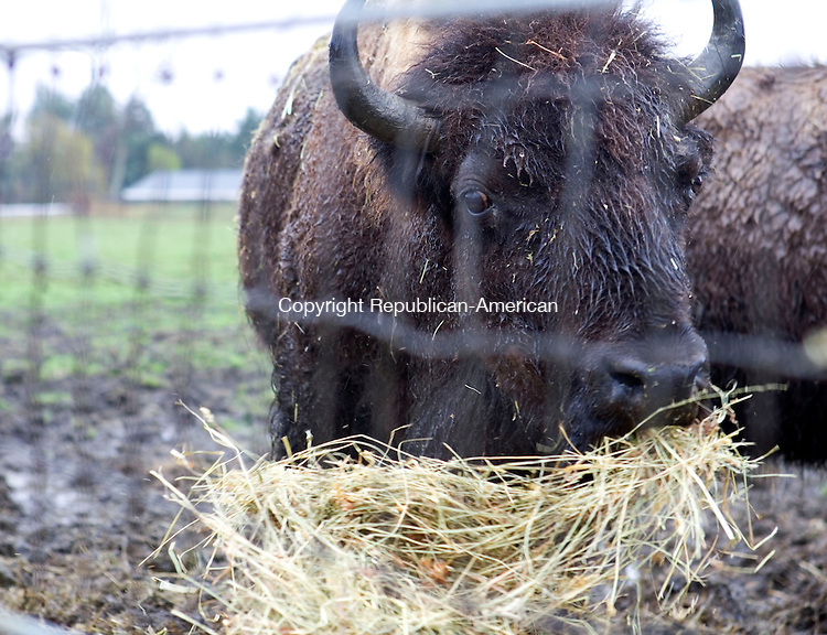 GOSHEN, CT- 29 APRIL 2008- 042908JT02-<br /> An American Bison feeds on hay during his daily feeding time at Action Wildlife in Goshen on Tuesday. Action Wildlife, located on Route 4, is now open for the spring, daily from 10 a. m. to 5 p. m., $8 for children and $10 for adults.<br /> Josalee Thrift / Republican-American