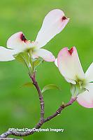 63808-03018 Flowering Dogwood (Cornus florida) blooms, Marion Co, IL