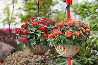 Hanging flower baskets with Zinnias 'Profusion Double Hot Cherry' and 'Profusion Deep Salmon'