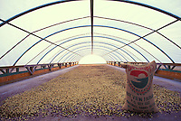 Kona coffee beans drying at Bay View Farms, Kealakekua
