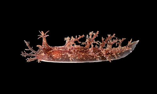 Dendronotus frondosus - a nudibranch sea slug