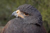 Harris's Hawk seen up close at southern Arizona's, Sonoran Desert Museum.