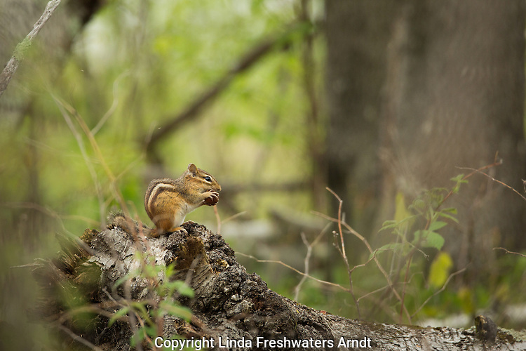 Eastern chipmunk eating an acorn in a northern forest