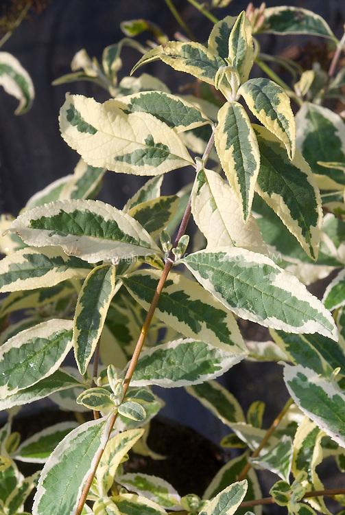 Buddleja davidii 'Florence' variegated buddleia butterfly bush