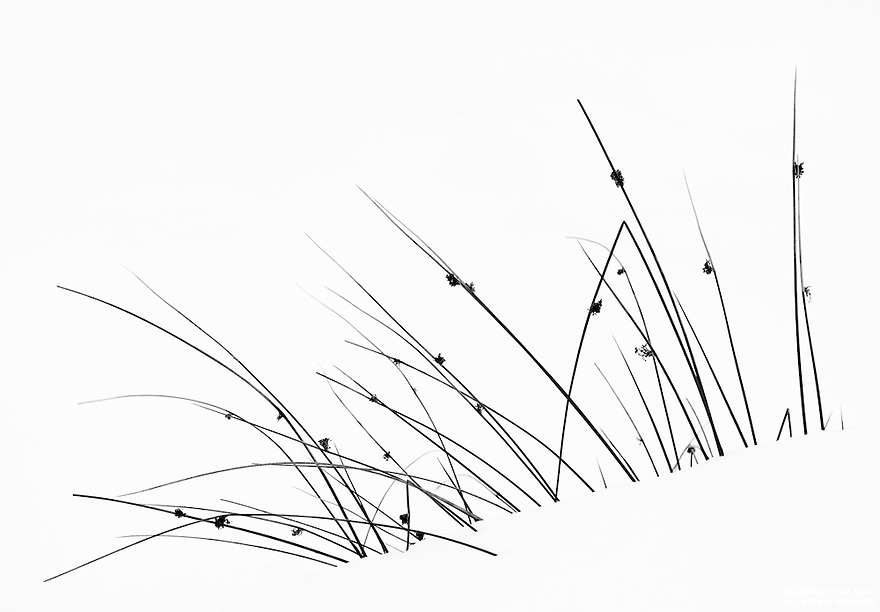 Abstract detail of winter grasses against snow