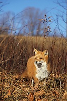 Red Fox in Leaves