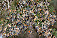 Western Monarch Butterflies (Danaus plexippus) in wintering cluster, coastal California.