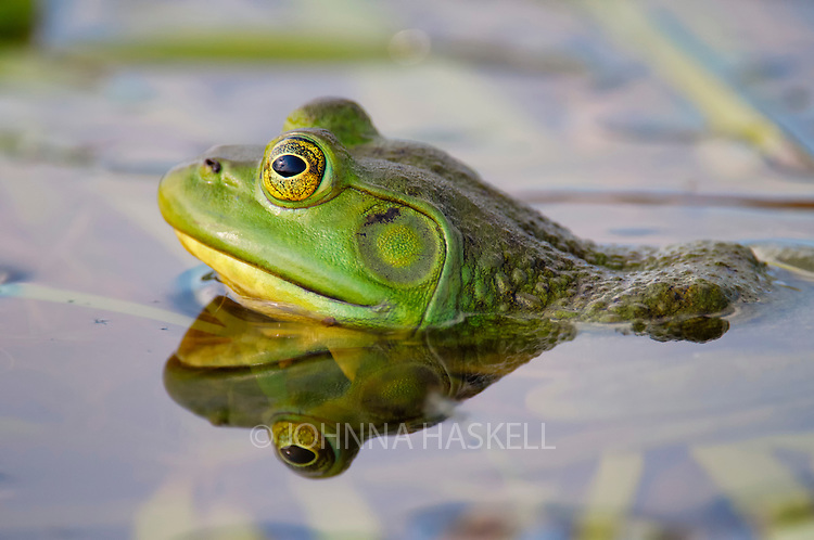 Green bullfrog on Rangeley found in the marsh bog.