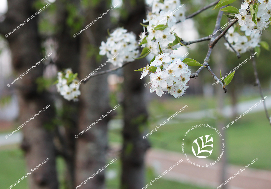 Stock photo: Delicate cherry blossom flowers branch hanging in a park and road seen behind blurred.