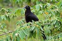 Christmas Island Imperial Pigeon, Christmas Island, Indian Ocean