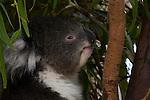 Captive koala bear at the Something Wild animal sanctuary, Tasmania.