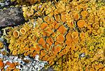 Poplar Sunburst Lichen (Xanthoria hasseana)