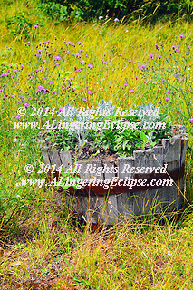 Antique whiskey barrel with rusted iron bands and oak wood slats planted in the rustic front yard of the garden as decoration amongst the prairie weeds. Ornamental garden plants: early generation, pre-bloom Salvia plants growing next to silver frothy branches of Dusty Miller. vertical