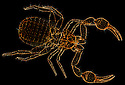 A light micrograph of a Pseudoscorpion {Pseudoscorpionida} specimen under darkfield illumination. Slide speciman.
