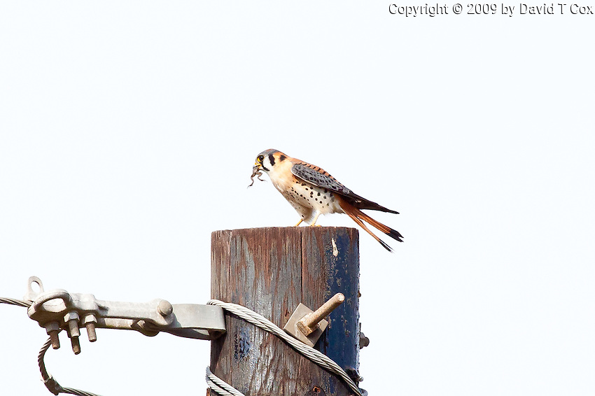 American Kestrel, Teacapan, Mexico