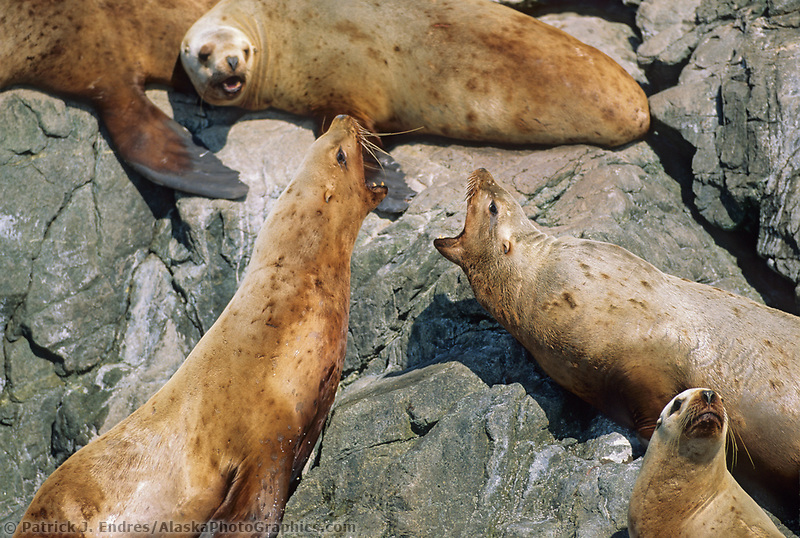 Steller's Sea Lions, Glacier Island, Prince William Sound, Alaska
