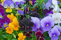 Viola 'Sorbet Supreme Mixed F1, variety of pansies in spring bloom, blue, lavender, purple, reddish, yellow gold, white for colorful spring flowering plants