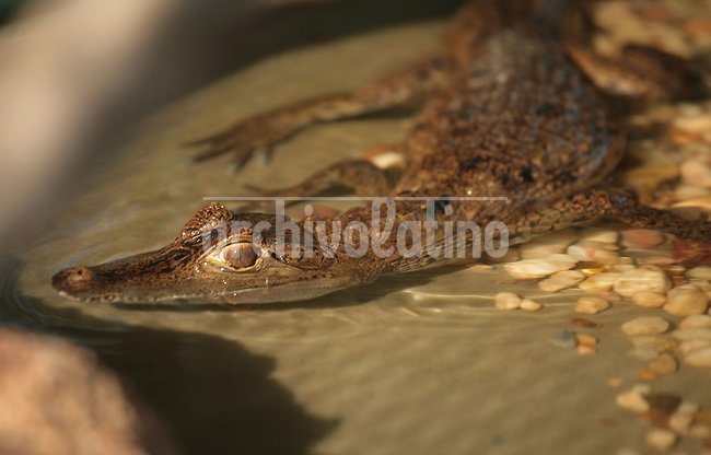 Caiman crocodilus crocodilus, known also as babo or baba llanera, lives en in the Orinoco river in most swamps in Southern Venezuela.