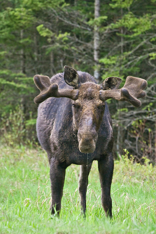Young Bull Moose pauses while drinking from a water hole