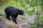 A black bear roams the hillside near Colter Bay in the Glacier National Park.