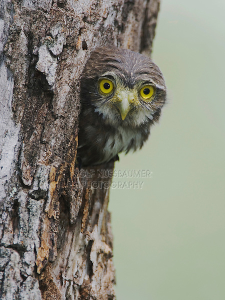 Ferruginous Pygmy-Owl, Glaucidium brasilianum, young in nesting cavity, Willacy County, Rio Grande Valley, Texas, USA