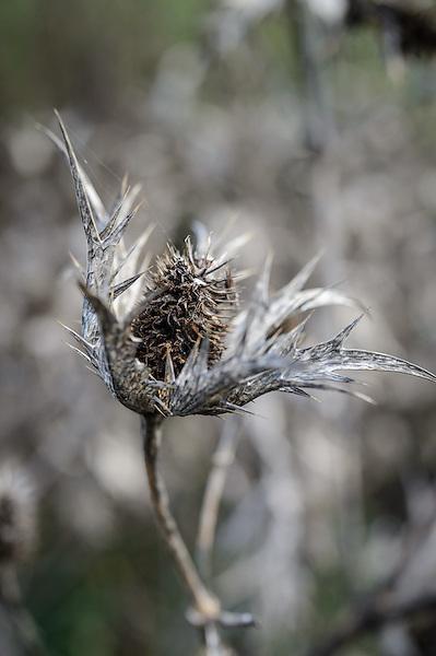 Eryngium giganteum 'Silver Ghost'