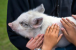Students at Fremont Elementary School in Carson City, Nev., pet Piggly Wiggly, a six-week-old pig, during a cow plop fundraiser, where they were able to pet local farm animals.<br />