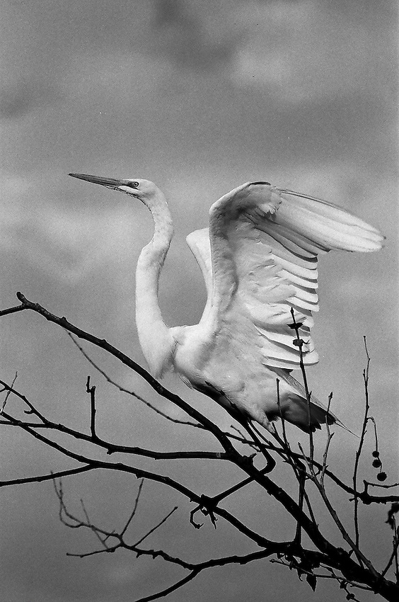 Great Egret, 35mm on film
