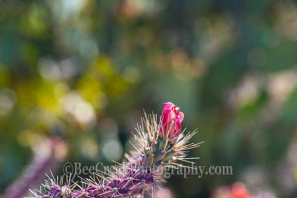 Spines of the Cholla flower up close.  Beautful but painful if you get too close.