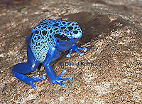 0929-07oo  Dendrobates azureus - Blue Poison Arrow Frog ñ Blue Dart Frog  © David Kuhn/Dwight Kuhn Photography