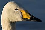 Whooper swan, Cygnus cygnus, portrait, lake Kussharo-ko, Hokkaido Island, Japan, japanese, Asian, wilderness, wild, untamed, ornithology, snow, graceful, majestic, aquatic.Japan....