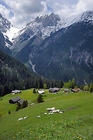 Sheep grazing in field above small mountain hamlet off the Hajntennjoch pass close to Elmen. Imst district, Tyrol/Tirol. Austria.