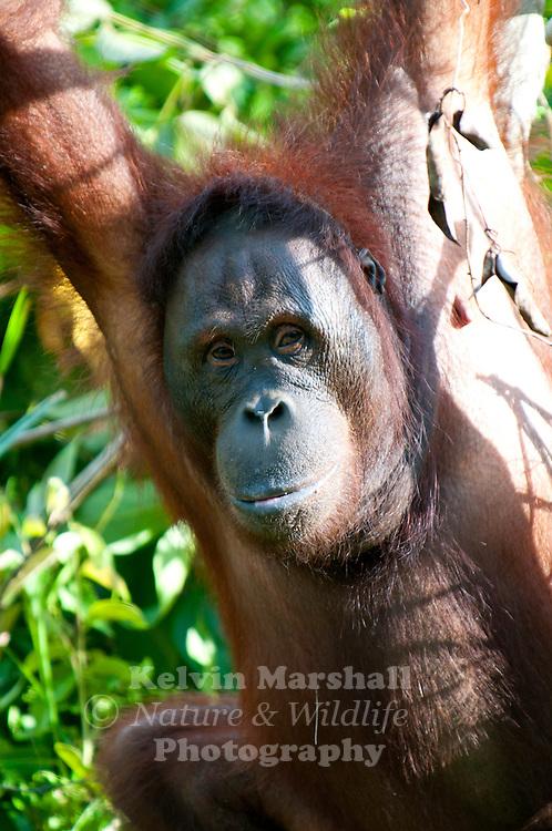 """Laura"" Adult Female Orangutan (Pongo pygmaeus) - Samboja Lestari National Park is the location of Samboja Lodge as part of BOS (The Borneo Orangutan Survival Foundation)"