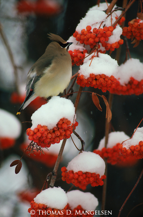 Cedar waxwing perched on the branch of a mountain ash.